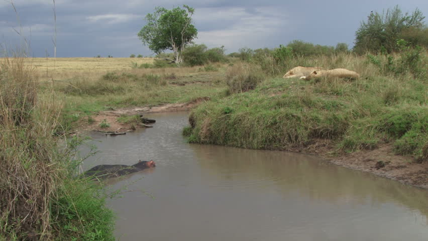 A test of wits and patience. lions wait patiently for a hippo to come out of water  | Shutterstock HD Video #1019474089
