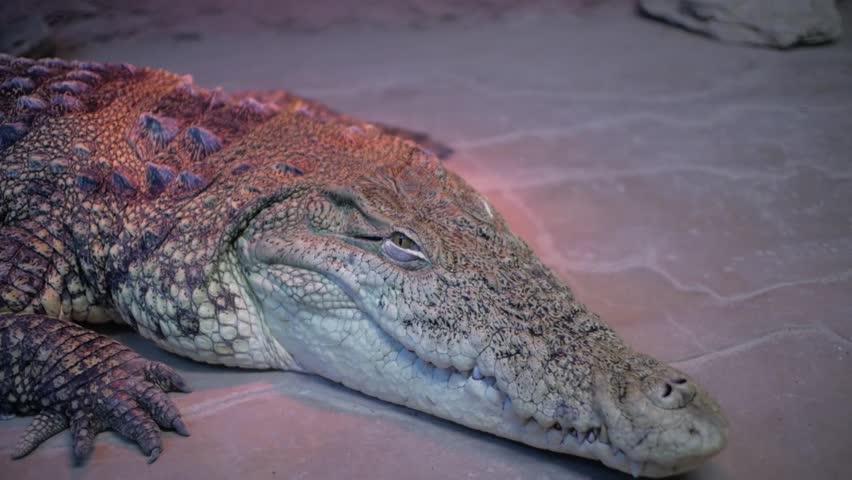 78804f839ad1 Alligator in Terrarium. (cayman. Crocodile) Stock Footage Video (100 ...