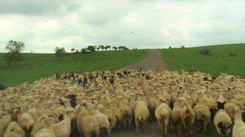 herd of sheep blocking the road on the road to davit gareja, caucasus