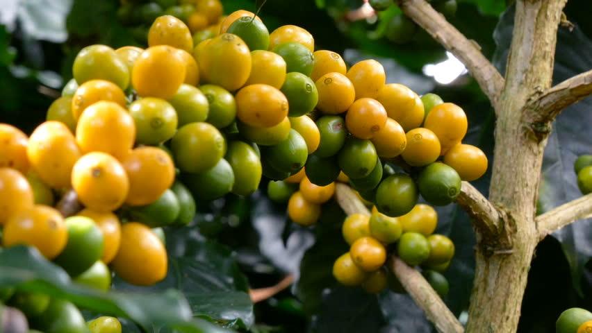 15 seed Coffee arabica Tree Seeds From Thai