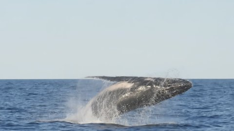slow motion shot of a humpback whale breaching with back to the camera at merimbula in new south wales, australia- originally recorded at 180p