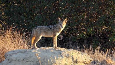 Barking and howling coyote at Santa Susana Pass State Historic Park in Los Angeles, California.
