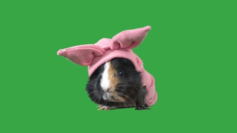 funny guinea pig in clothes on a green screen