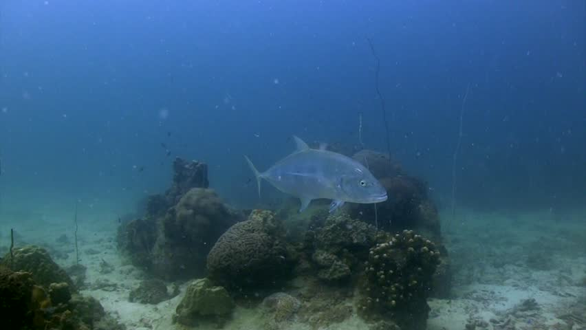 Giant Trevally at Koh Tao   Shutterstock HD Video #1020610489
