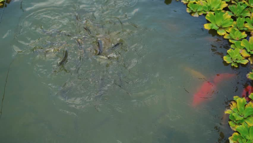 Beauty of nature, people feeding fish in lake with Pistia plant beside. Slow motion footage. | Shutterstock HD Video #1020708649