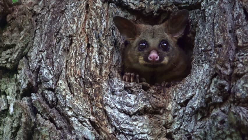 Cute possum inside a tree hole