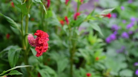 A red cockscomb flower or Celosia tree in focus and other flowers as blurred background for flowers video background/wallpaper.
