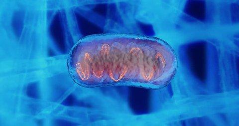 Mitochondria And Dna Mitochondrial Dna Mitochondria A Membrane Enclosed Cellular Organelles Which Produce Energy Mitochondria Cell Energy And Cellular Respiration Mitochondrial Disease