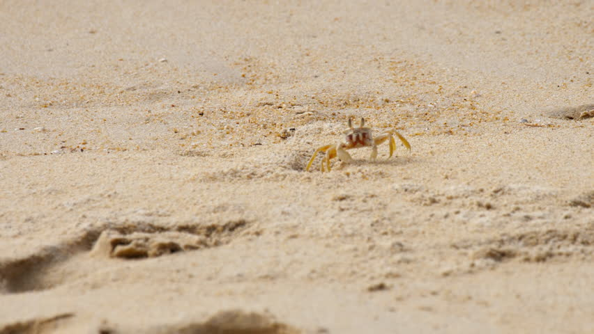 Ghost crab's, Horned Ghost Crab or Horn-eyed Ghost Crab (Ocypode ceratophthalmus) at sand on the beach | Shutterstock HD Video #1021222639