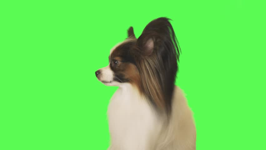 Beautiful dog Papillon looks around on the green background stock footage video | Shutterstock HD Video #1021246159