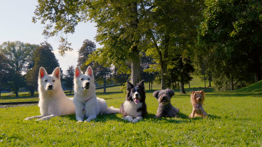 Amazing arc shot of five dogs lying in the park in a line, from the biggest to the smallest, different breeds. Happy, posing. | Shutterstock HD Video #1021310179