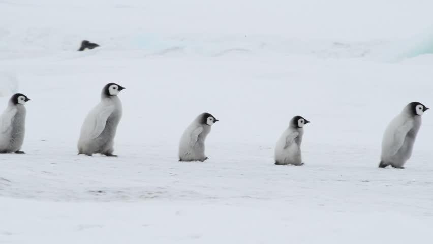 Emperor Penguin with chicks in Antarctica