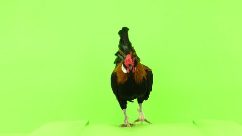 Rooster slowly approaching the camera on green screen
