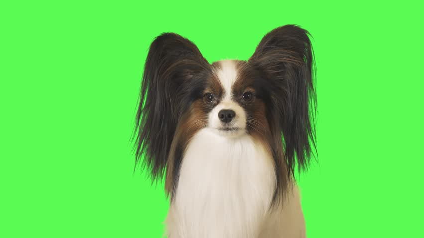 Beautiful dog Papillon is looking intently at the camera on green background stock footage video | Shutterstock HD Video #1021528489