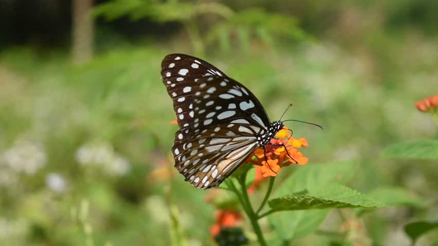 Dark Glassy Tiger (Parantica agleoides)  butterfly seeking nectar on orange color flower of Ziziphus oenoplia tree in field with natural green background, Patterned blue on black color wing #1021680889
