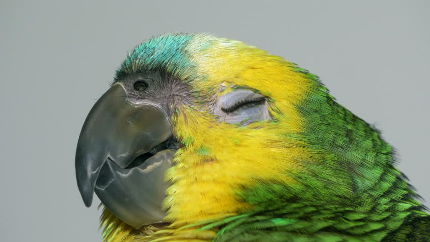 Yawning Baby Amazon Parrot Stock Footage Video 100 Royalty