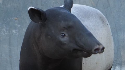 Close up of tapir head wiggling his nose and looking around