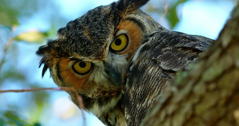 Amazing close-up of a Great Horned Owl with big eyes looking directly at camera.