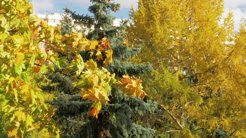 Autumn trees. View with green spruce and wind waving the maple in foreground