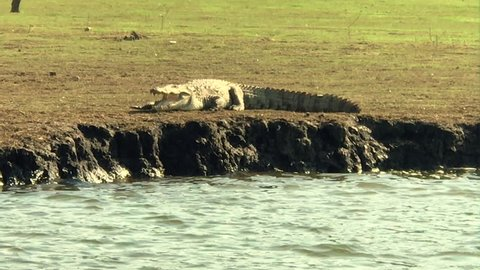 Handheld shot of a huge crocodile as it walks along the banks of the kabini river.