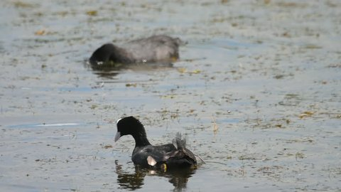 Eurasian coot. Fulica Atra. The bird dives under the water to get food.