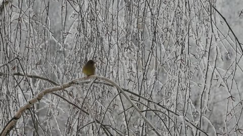 The greenfinch banishes from a branch a titmouse, and a sparrow of a greenfinch.