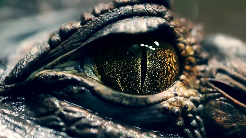 Alligator's eye. Close-up of a live alligator's eye. crocodile, caiman. Dinosaur monster | Shutterstock HD Video #1022392789