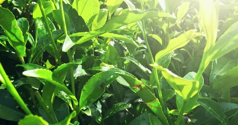 Fresh shiny leaves of tea trees grow on green hills plantations in Sri Lanka. Beautiful background of summer sunny day in rural asian countryside
