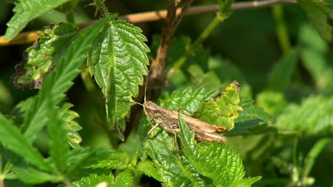 Insect Melanoplus Differential Grasshopper Sitting On Green Leaf In Meadow