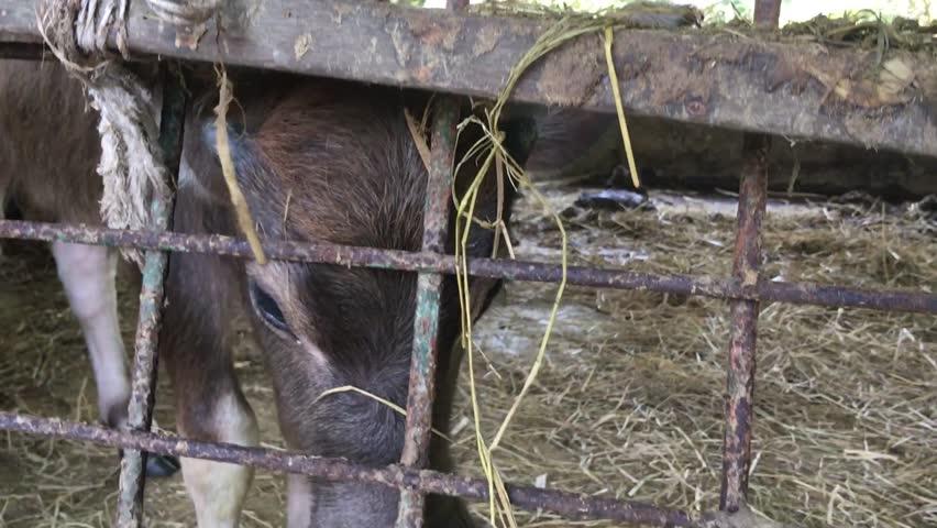 Black Buffalo Eating Straw on Farm | Shutterstock HD Video #1022677369