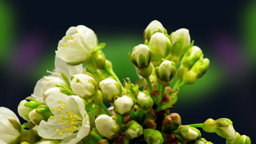 Cherry blossom timelapse. Cherry fruit tree flower growing, blooming and blossoming time lapse video against a dark background with magnolia flowers blossoming in the background.