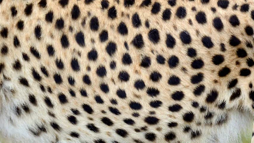 Slow motion of moving real cheetah hair. Animal background, abstract natural animation | Shutterstock HD Video #1023068149