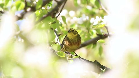 yellow bird among white flowers of a pear sings a spring song