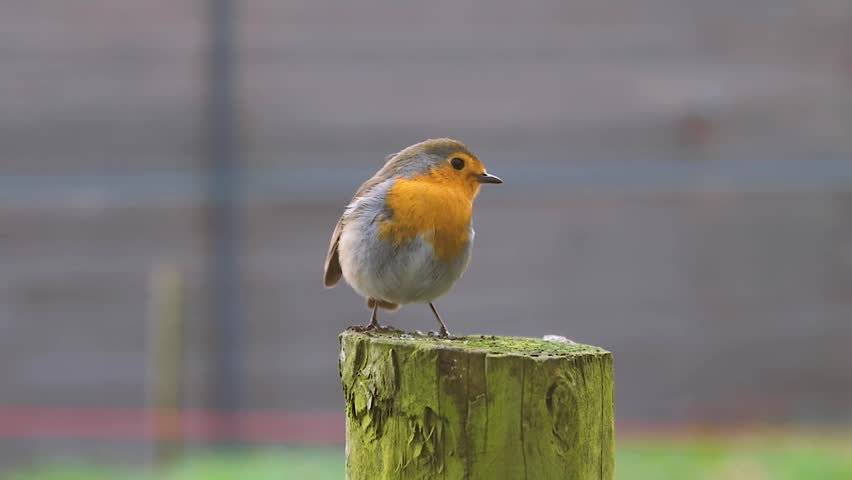Close up view of a Robin stood on a tree stump. | Shutterstock HD Video #1023220489