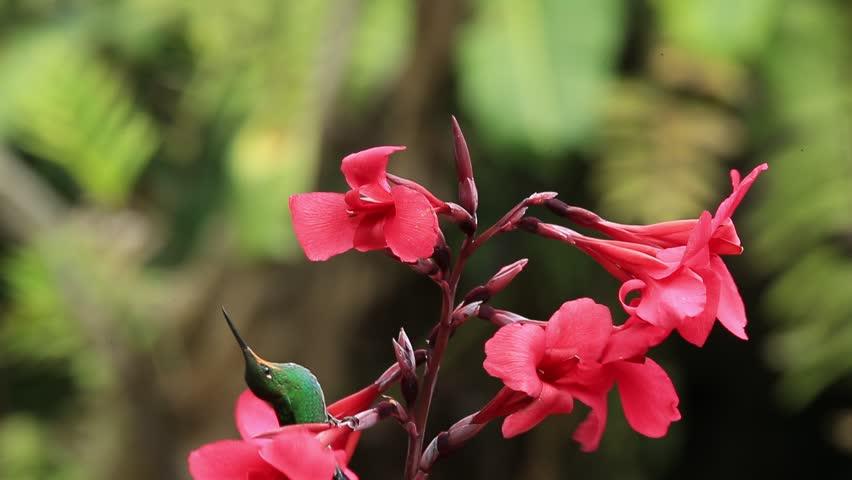 Hummingbirds Green-crowned Brilliant, Heliodoxa jacula, flight around red flower, Costa Rica | Shutterstock HD Video #10232408
