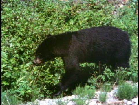 JASPER, ALBERTA, 1990, Jasper National Park, black bear wanders