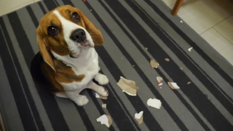 Dog sit over paper litter, playful beagle tear down something on pieces. Shy eyes of cute doggy, turn head and looking up to owner, POV shot