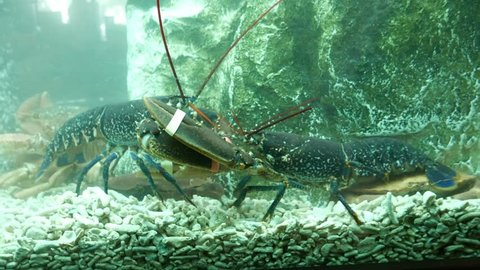 Blue tailed giant lobsters fighting or playing in a restaurant fish tank - 4K