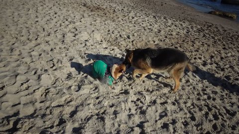 German Shepherd and Pug playing in the sand on the beach
