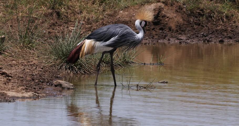 Grey Crowned Crane, balearica regulorum, Adult standing in waterhole, Eating Insects, Nairobi Park in Kenya, Real Time 4K | Shutterstock HD Video #1023478249