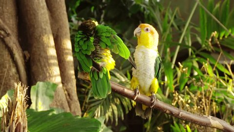 Two beautiful parrots are sitting on a branch. One parrot poops