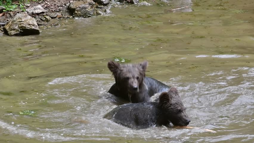 Two brown bear (Ursus arctos) cubs swimming and playing with female in pond, Panning shot