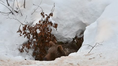 One year old brown bear cub (Ursus arctos arctos) emerging from den after hibernating in the snow in winter