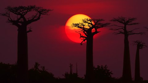 Silhouette of Baobab trees in Madagascar