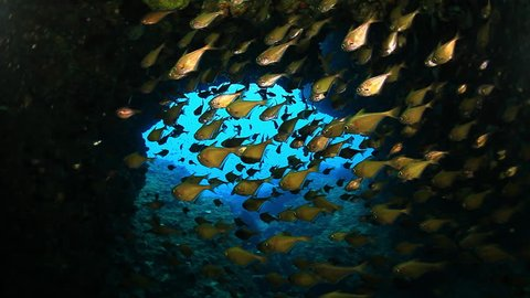 School of fishes  Black-edged sweeper (Pempheris mangula) inside the cave ,Andaman sea ,Tropical Reef at Thailand - Video