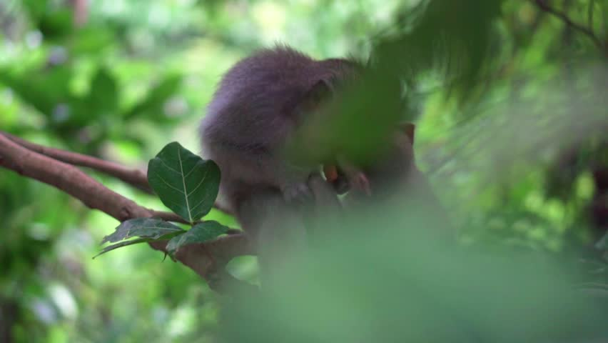 Two macaque siblings fight over piece of fruit. Ubud Monkey Forest, Bali, Indonesia. #1023915859