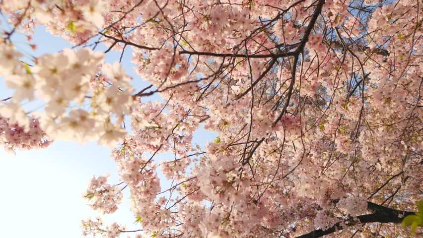 Washington, D.C. May 22,Tracking shot under Cherry Blossoms in full bloom during the DC Cherry Blossom Festival,