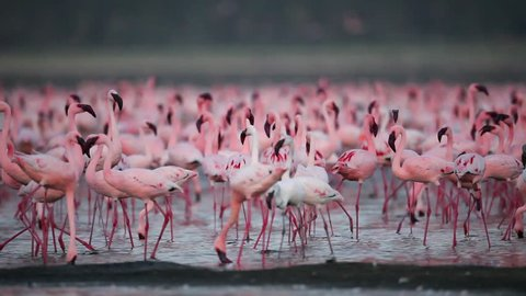Wild Lesser Flamingos On Lake Nakuru, Kenya