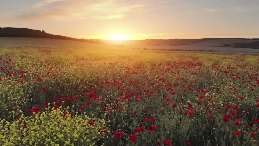 Flight over field of red poppies at sunset. Beautiful flowers and spring nature composition. | Shutterstock HD Video #1024246889