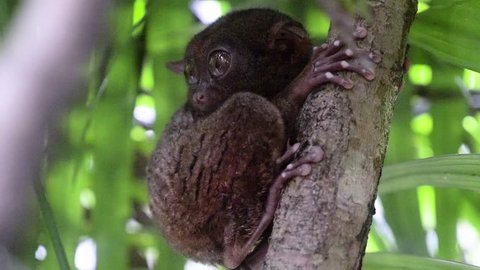 Close-up shot of tarsier clinging to a tree and turning its head to look directly at camera in Bohol, The Philippines